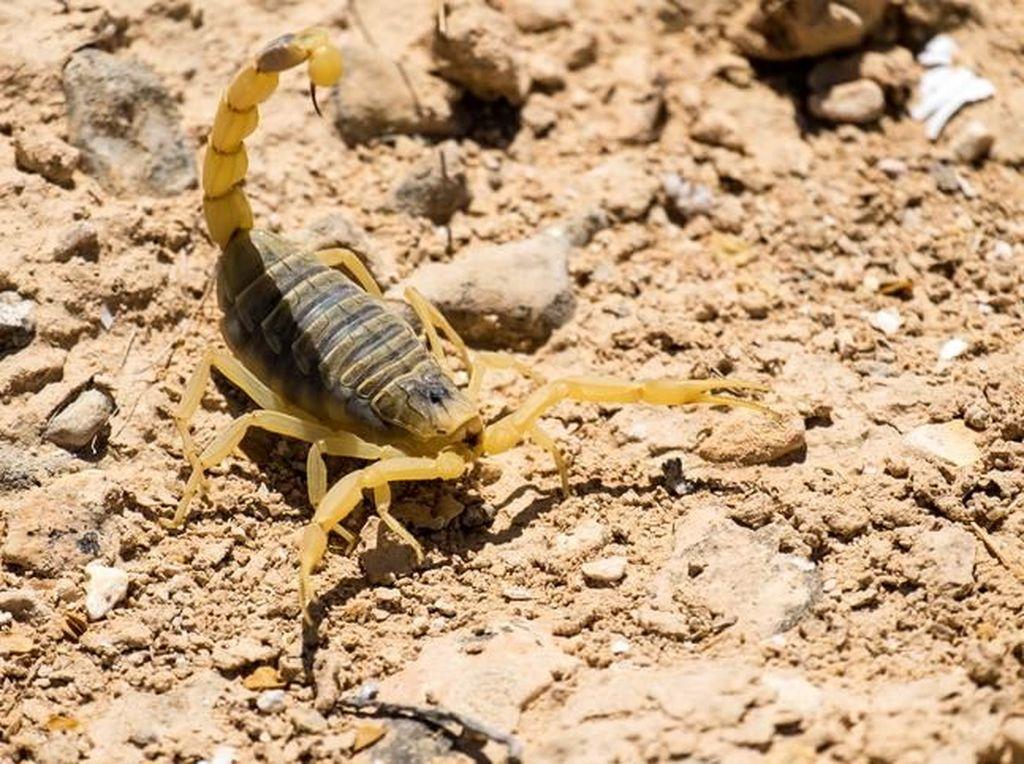 5 Spesies Kalajengking Mahal yang Racunnya Dicari Peneliti