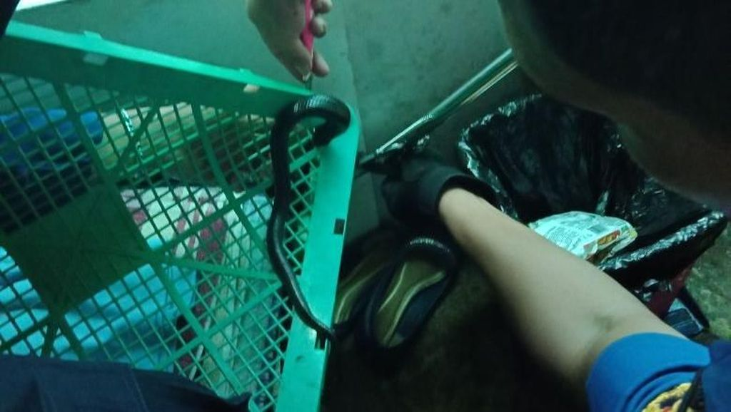 Bikin Kaget! Ini Penampakan Kobra yang Muncul di Dapur Warga Ciracas