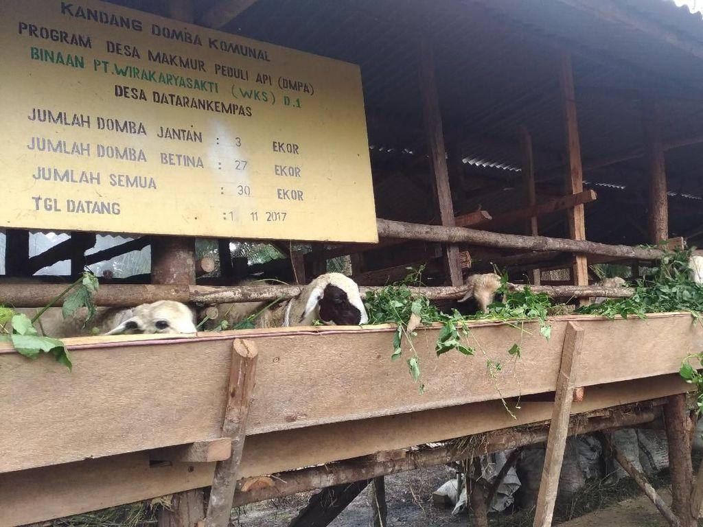 Petani Sawit di Jambi Belajar Tanam Jahe hingga Ternak Domba