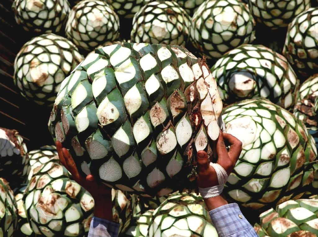 Melihat Proses Pembuatan Tequila Tradisional di Meksiko