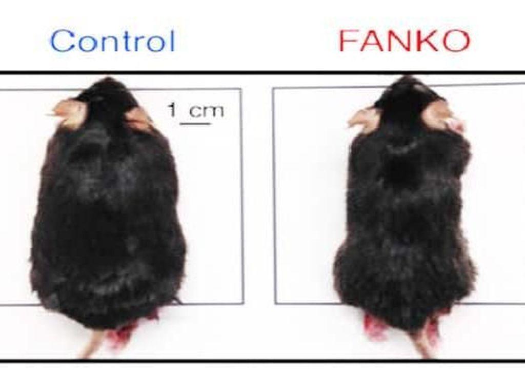 Duh Iri! Meski Banyak Makan Lemak, Tikus Eksperimen Ini Tak Bisa Gemuk
