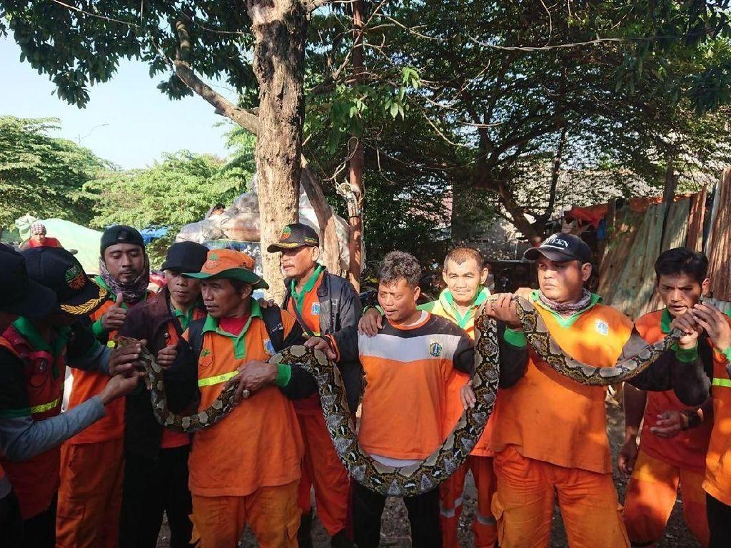 Petugas Ramai-ramai Tangkap Sanca 3,5 Meter di Kali BKT