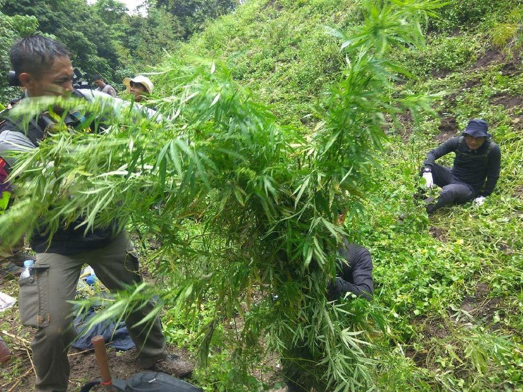 6 Hektare Ladang Ganja di Aceh Dimusnahkan