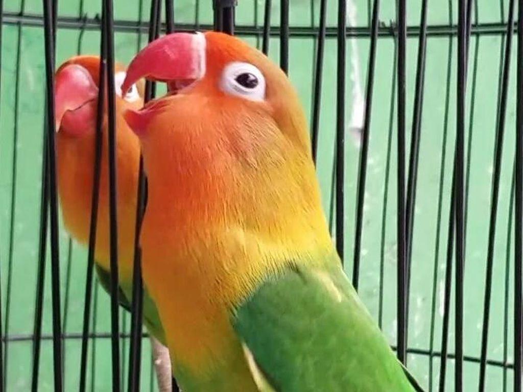 Lovebird, Burung Cantik yang Harganya Bisa hingga Rp 1 Miliar