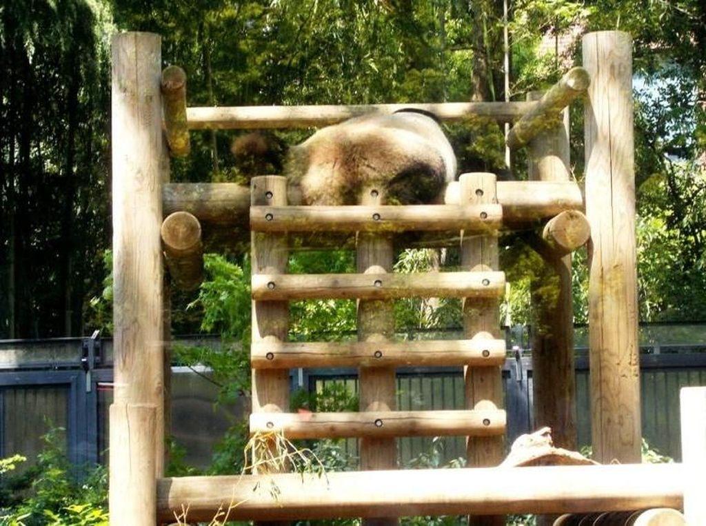 Bukan China, Ini Panda Raksasa di Jepang