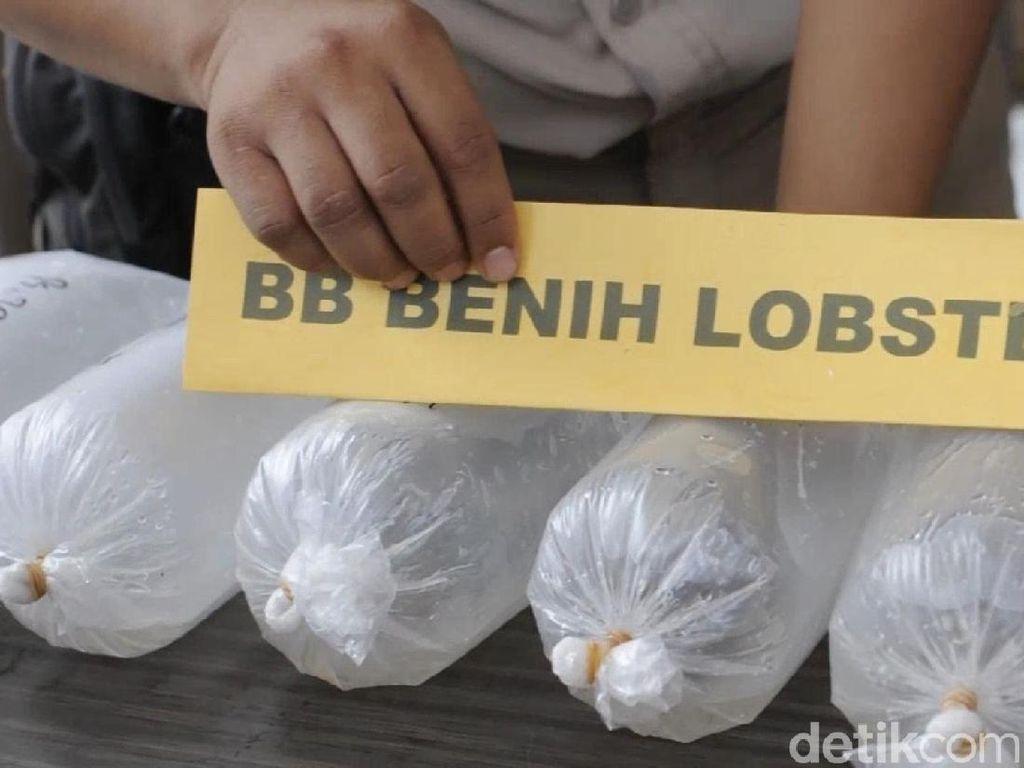 Polisi Gagalkan Penyelundupan Benih Lobster Senilai Rp 37 Miliar