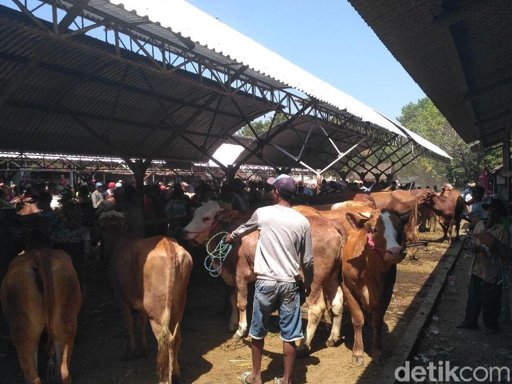 Jelang Ramadan, Harga Sapi di Pasaran Hewan Situbondo Malah Anjlok
