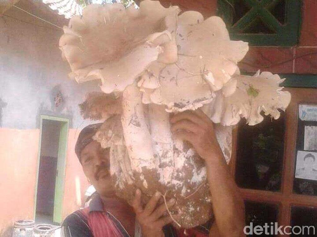 Wow! Jamur Raksasa Ini Ditemukan Warga Jember