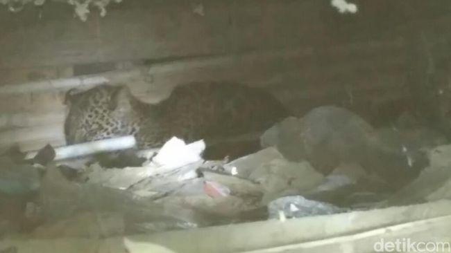 Petugas Pasang Jaring di Rumah Tempat Macan Tutul Ngumpet