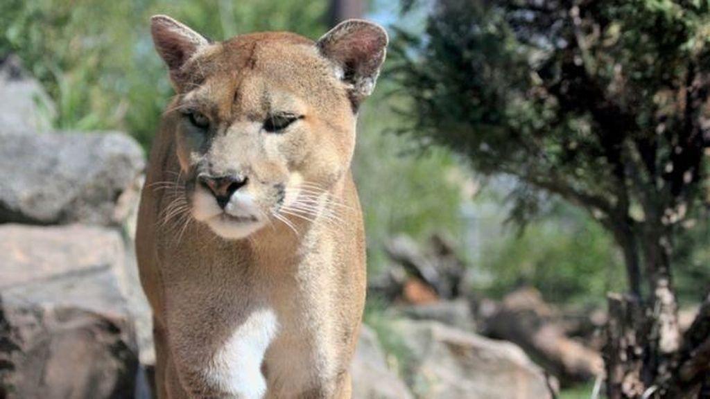 Serang 2 Pesepeda, Seekor Puma Ditembak Mati di AS