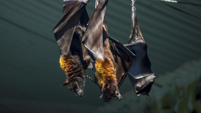 Two black flying-foxes Pteropus alecto hanging in a tree, Kakadu National Park, Northern territory, Australia