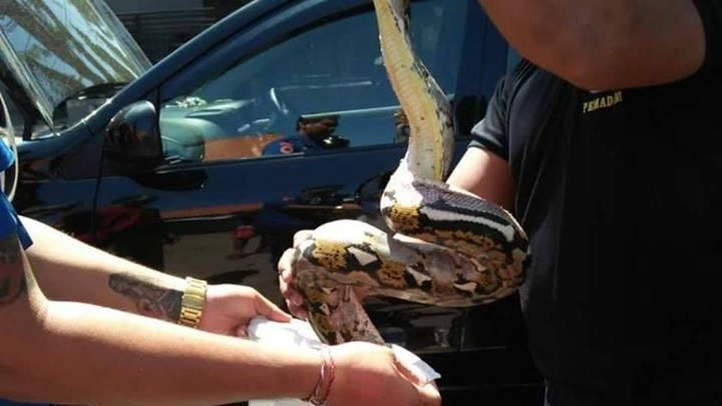 Foto: Sanca 2,5 Meter Ditarik dari Persembunyian di Mesin Mobil