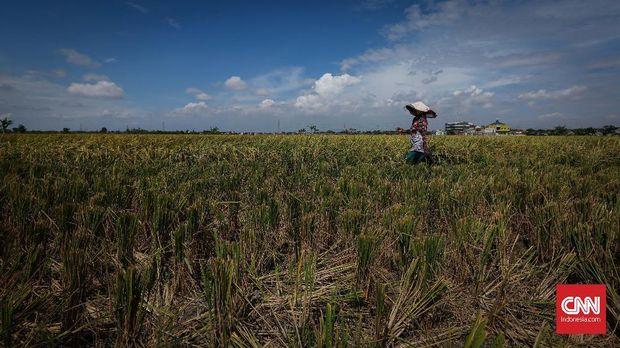 Sektor pertanian memberikan konstribusi yang cukup berarti pada perekonomian nasional. Sebab sektor pertanian memberikan kontribusi signifikan dalam PDB Indonesia triwulan kedua tahun 2017 silam. CNNIndonesia/Safir Makki