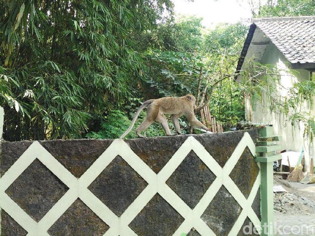 Aktivitas Merapi Meningkat, Monyet Ekor Panjang Mulai Turun Gunung