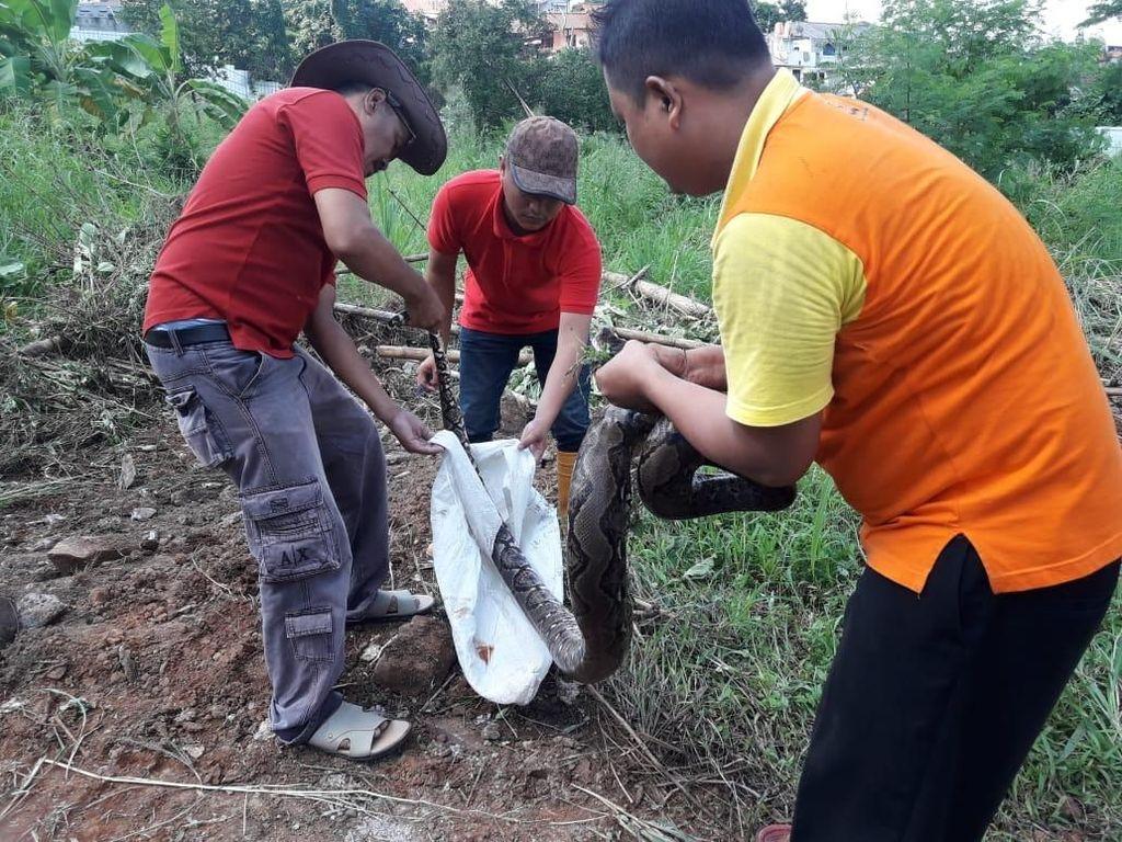 Foto: Ular Sanca 4 Meter yang Ditemukan di Depok