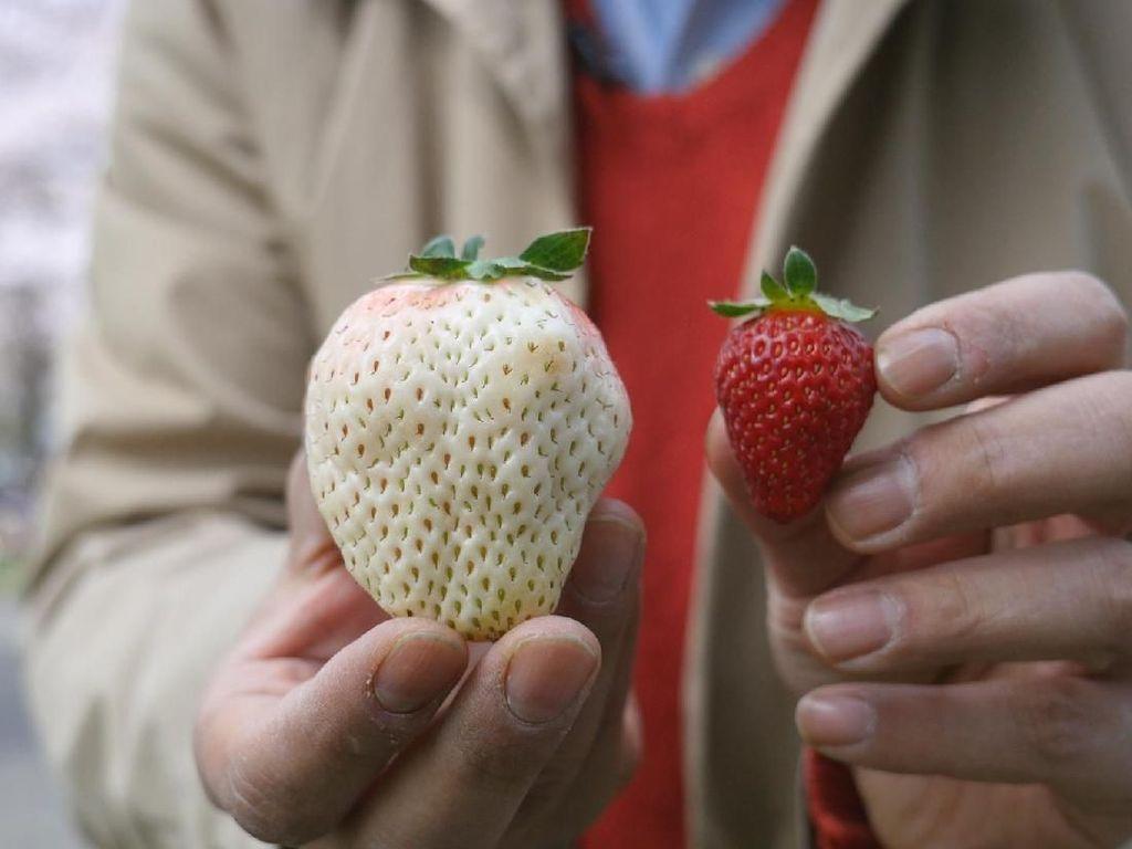 Ini 6 Fakta Buah Strawberry Putih yang Berharga Fantastis