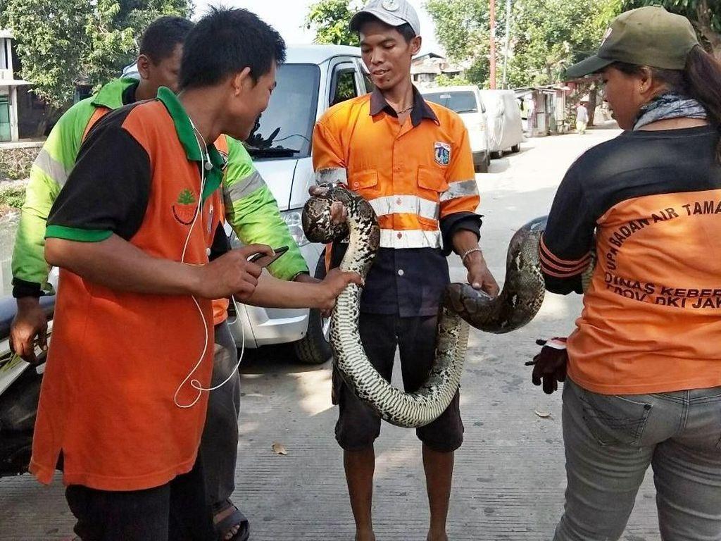 Ular Sanca Kembang 3 Meter Muncul di Kali Cipinang Lontar