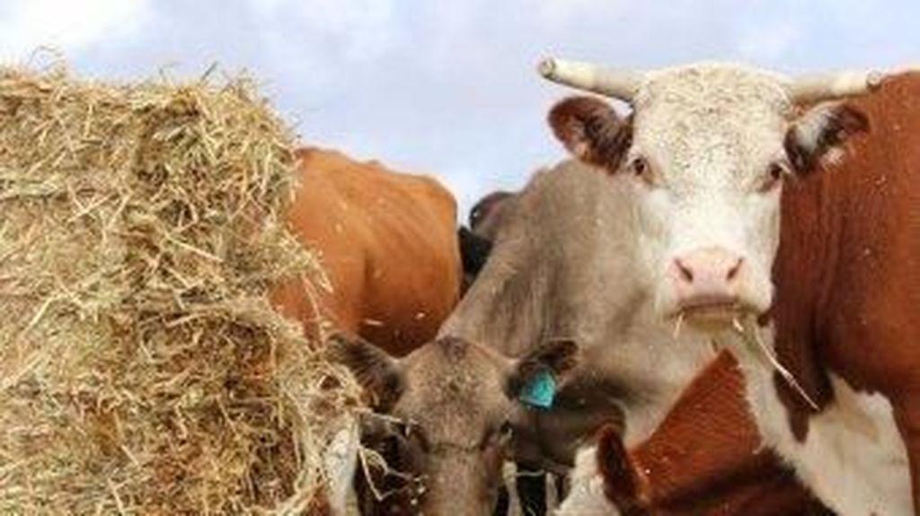 Selandia Baru Sembelih 150 Ribu Sapi Terjangkit Bakteri