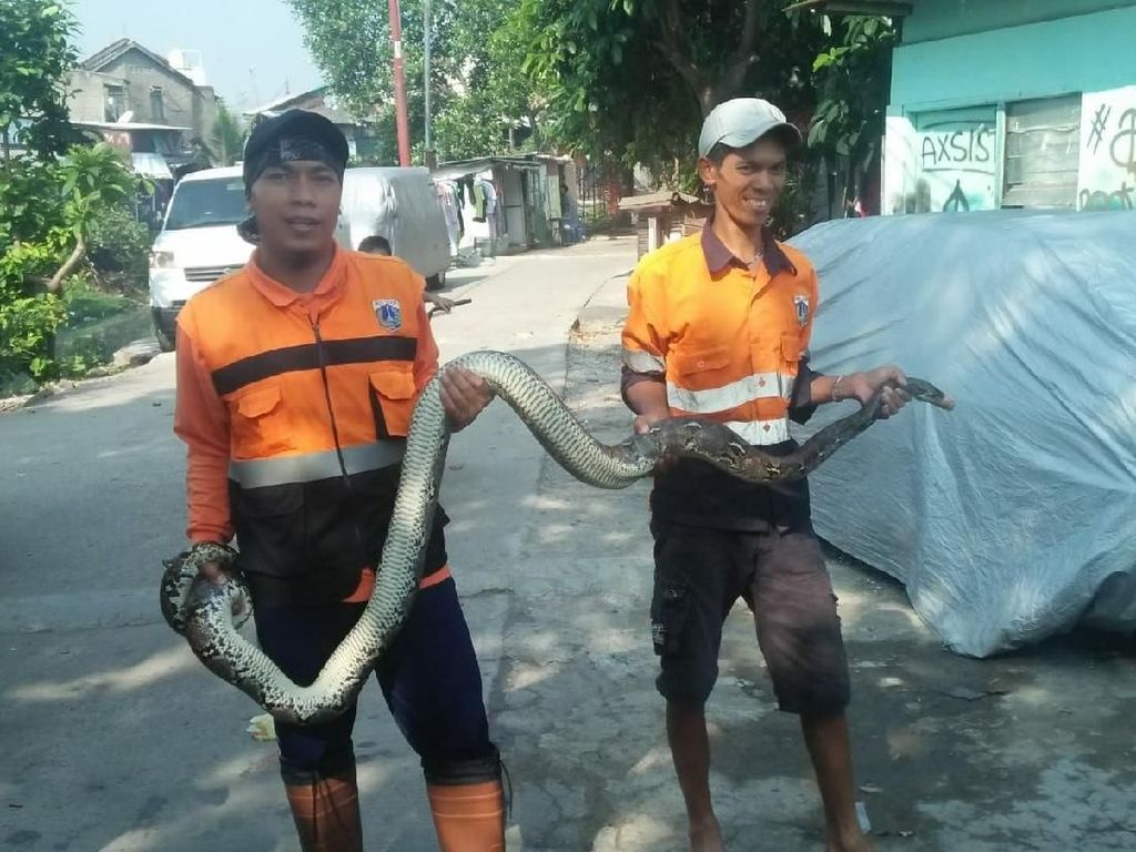 Cerita Petugas Saat Temukan Ular 3 Meter di Kali Cipinang Lontar