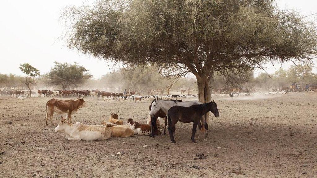 Kemarau Panjang, Hewan Ternak di Mauritania Terancam Kekeringan