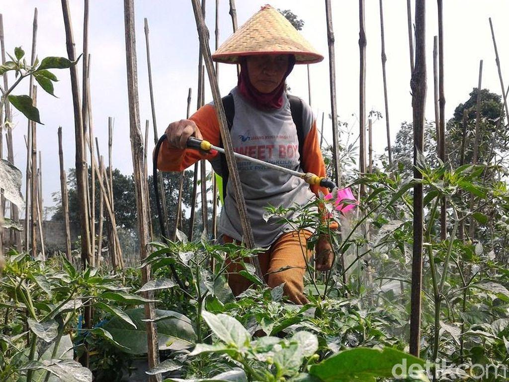 Sulitnya Petani Boyolali Bersihkan Abu Merapi dari Tanamannya