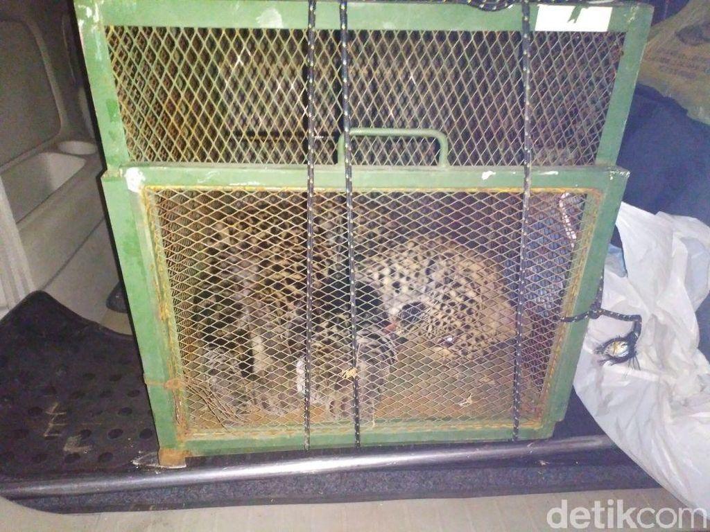 Ini Dugaan Penyebab Macan Tutul Terperangkap di Kandang Ayam