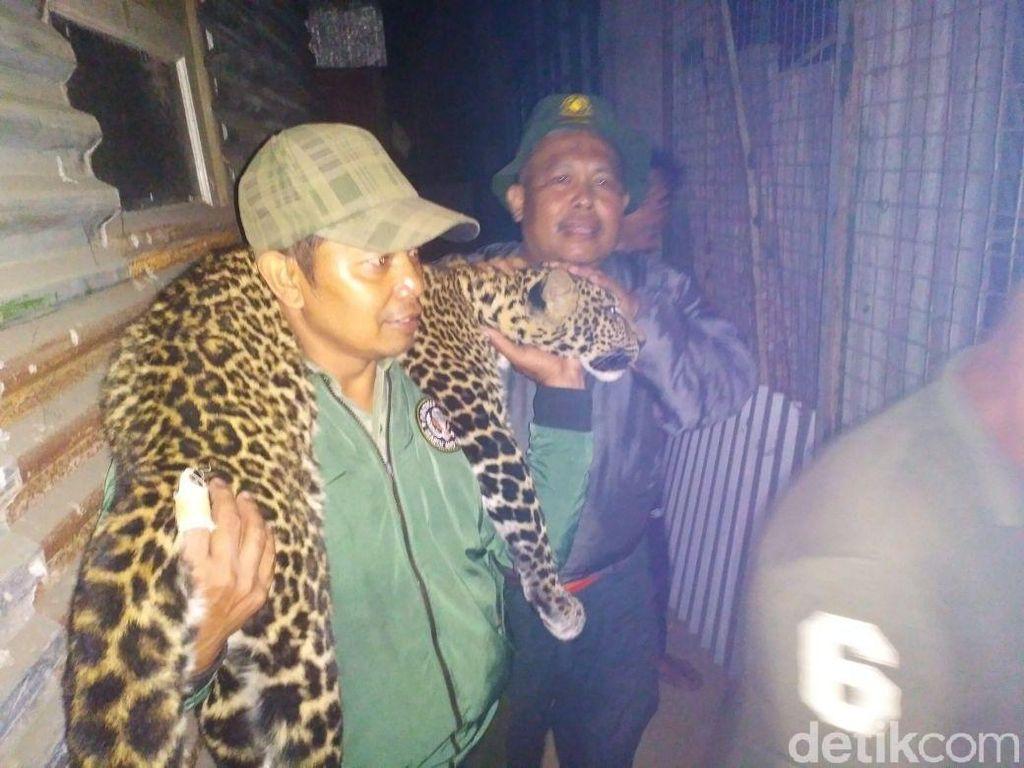 Sebelum Dilepasliarkan, Macan Tutul Dititipkan di Bunbin Bandung