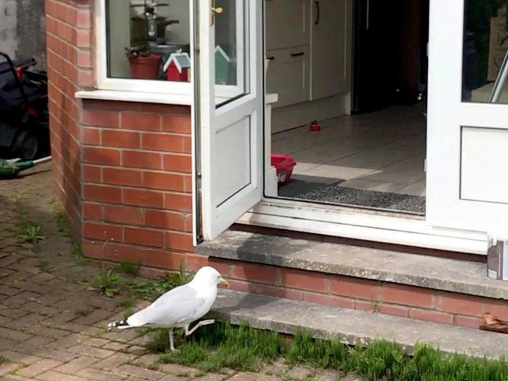 Kocak! Lihat Aksi Burung Camar Ini yang Diam-diam Curi Makanan