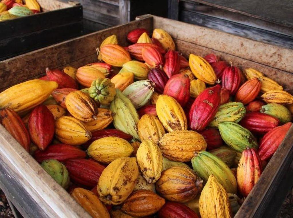 Mengintip Proses Pembuatan Coklat, dari Biji hingga Siap Santap