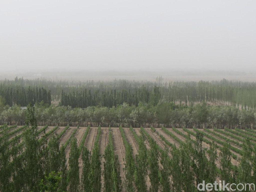 Foto: Cuma di China, Ladang Anggur di Tengah Gurun Gobi