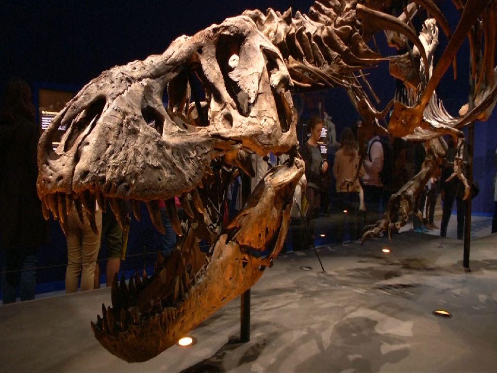 Kerangka T-Rex Berusia 67 Juta Tahun Dipamerkan di Paris