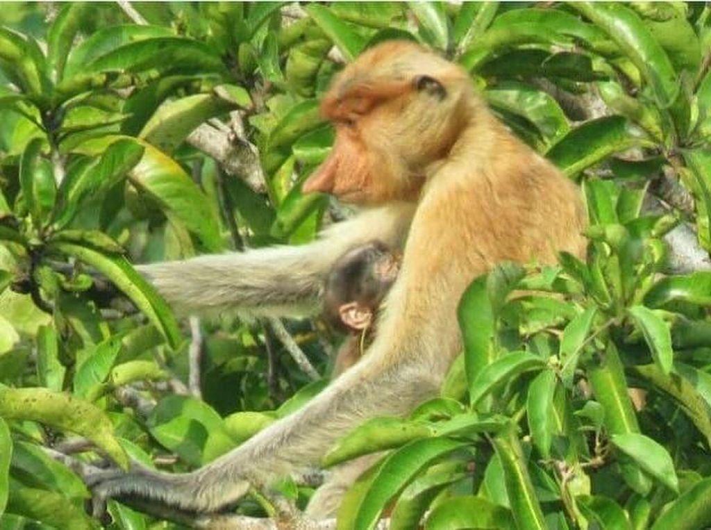 Populasi Bekantan Bertambah di TWA Pulau Kembang Kalsel