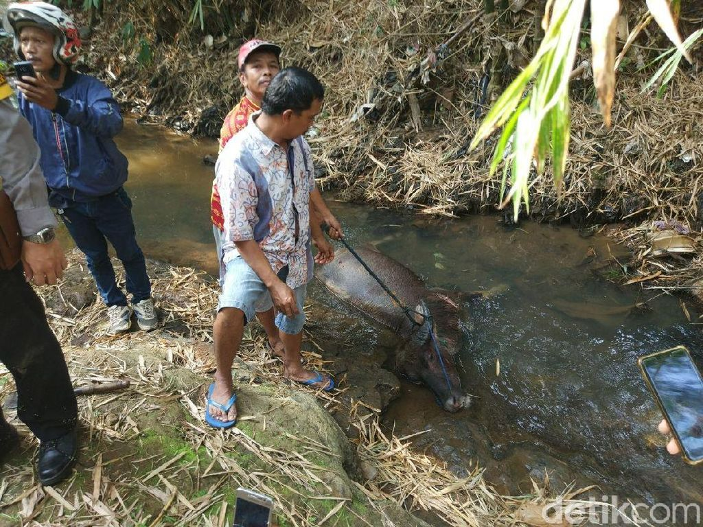 Mengamuk Lukai Warga, Kerbau Ini Ditembak 25 Kali Oleh Polisi
