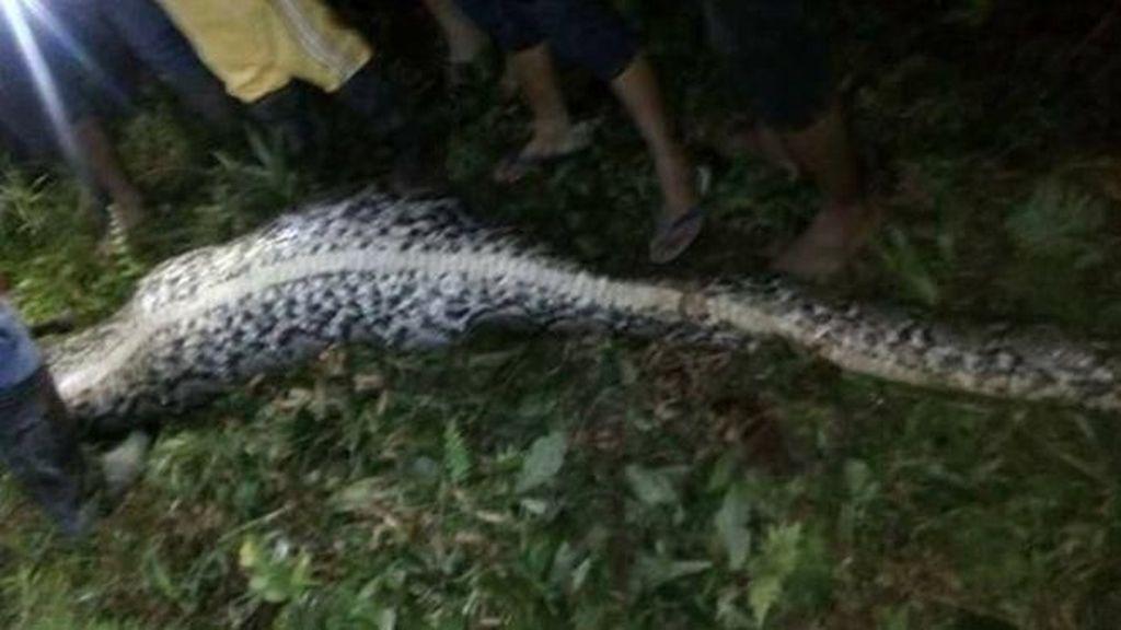 Foto: 2 Kejadian Ular Makan Manusia Bulat-bulat di Sulawesi