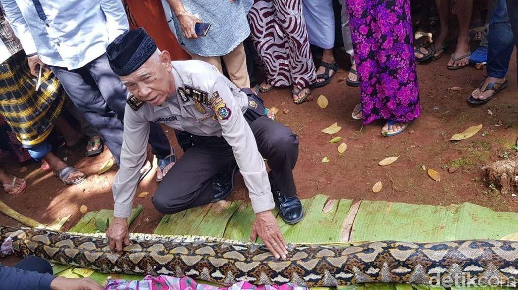 Foto: Ini Ular Sanca yang Makan Wanita Bulat-bulat di Sultra