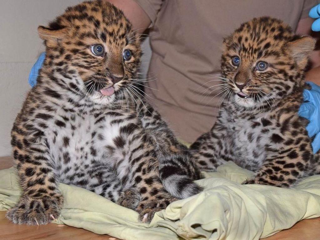 Bikin Gemas! Saat Bayi Macan Tutul Kembar Periksa Kesehatan