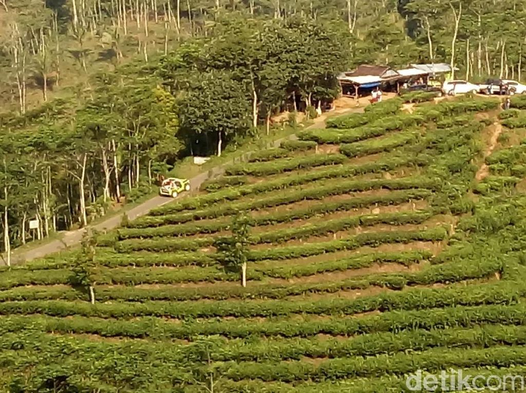Foto: Kebun Teh di Kulon Progo, Cantik Juga!