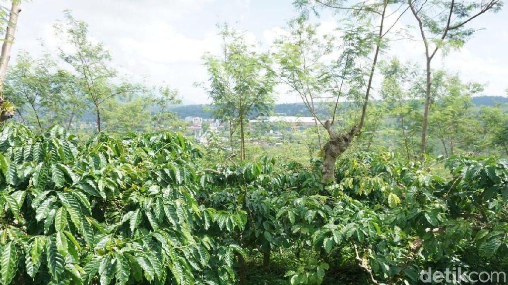 Masih di Semarang? Yuk, Keliling Kebun Kopi dan Cicipi Kopi Lokal Asli Semarang