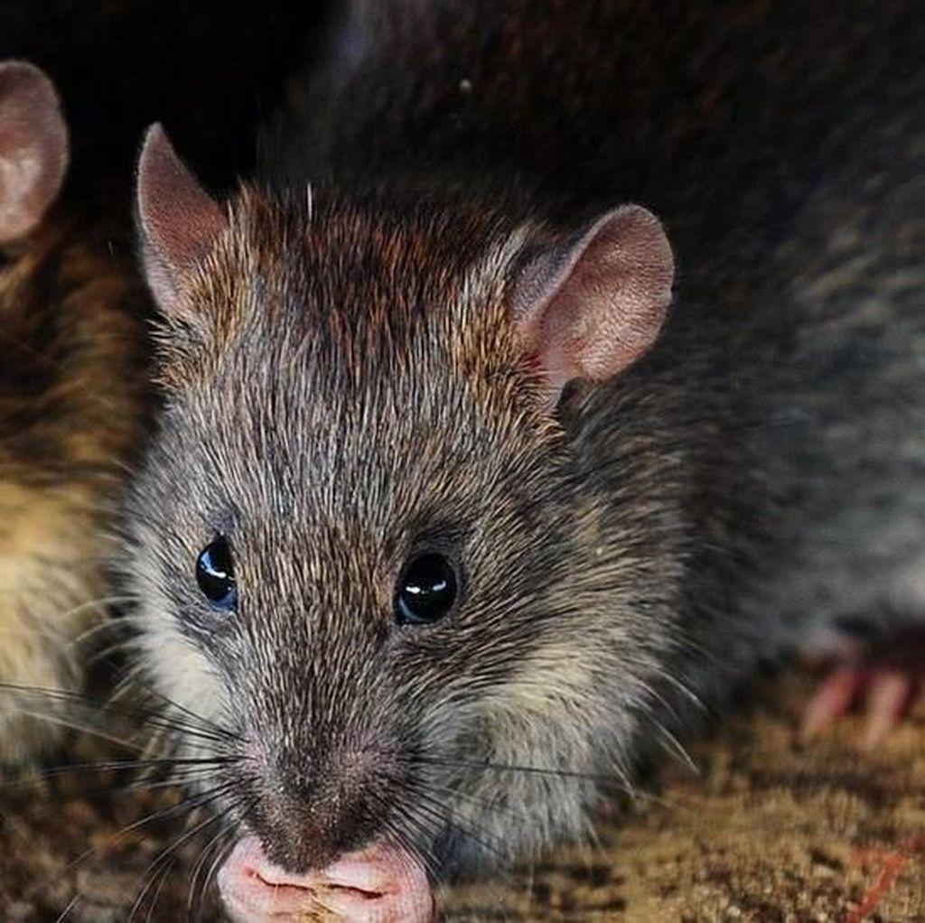Serbuan Tikus Sebesar Kucing di Selandia Baru