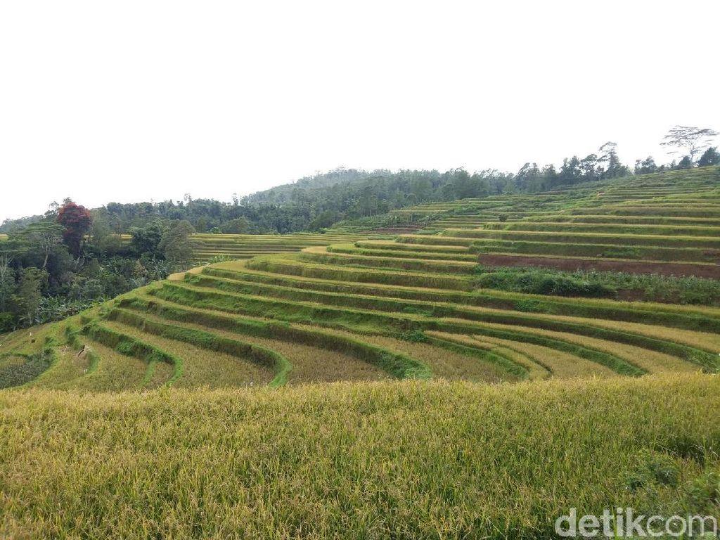 Bukan di Ubud, Ini Sawah Bertingkat Cantik di Sulawesi