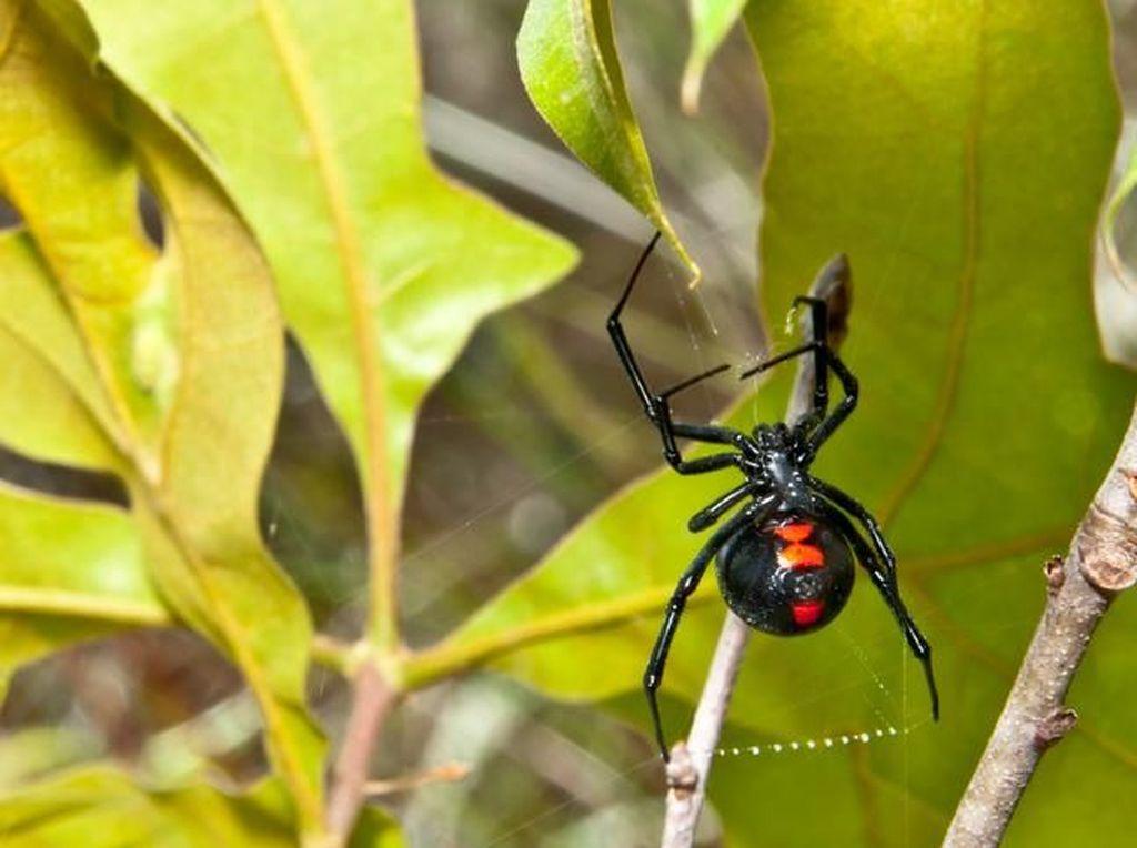 Digigit Laba-laba Janda Hitam, Pria Ini Enggak Bisa Kencing