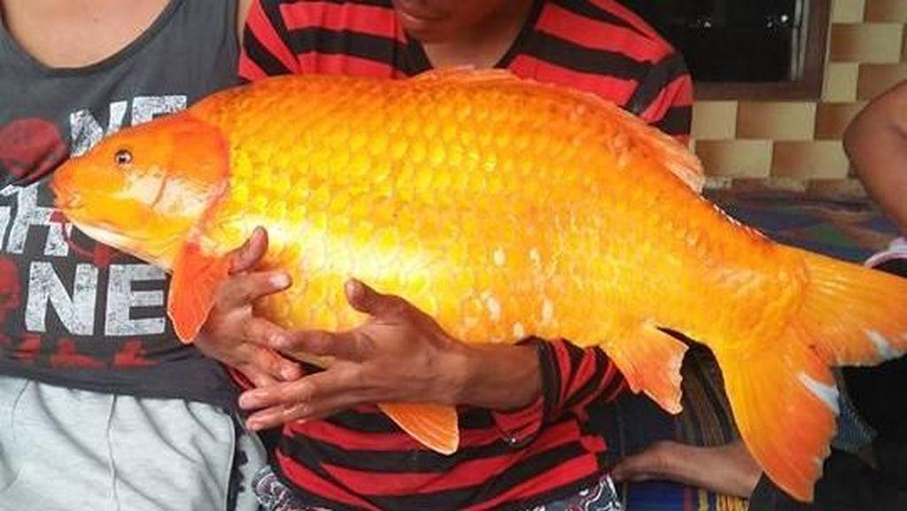 Penampakan Ikan Mas Raksasa yang Ditangkap di Danau Toba