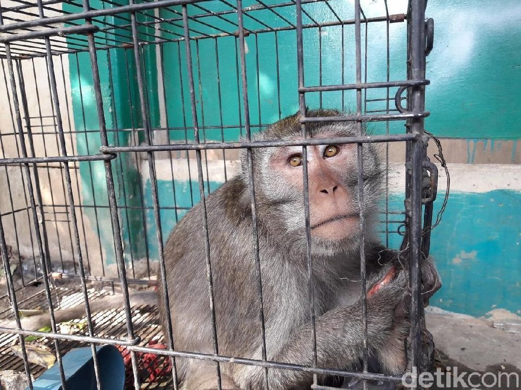 Foto: Ini Nih Monyet Liar yang Bikin Warga Bekasi Resah