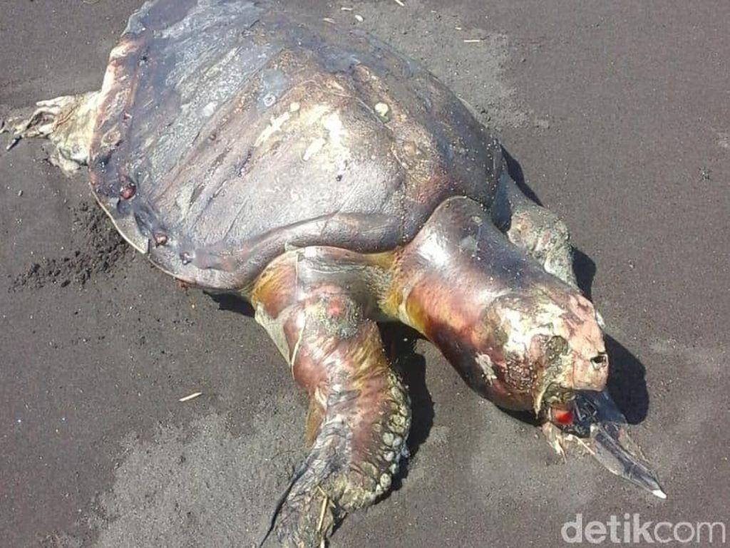 Dua Penyu Ditemukan Mati Terdampar di Pantai Jember