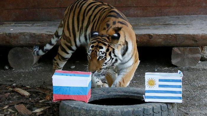 Seekor harimau di bonbin Rusia hendak memprediksi laga Uruguay vs Rusia di Piala Dunia 2018 (Foto: Ilya Naymushin/Reuters)