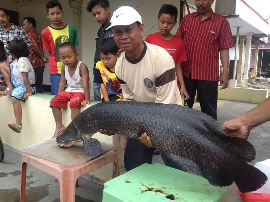 Heboh Arapaima, Ini 152 Ikan Berbahaya yang Dilarang Masuk RI