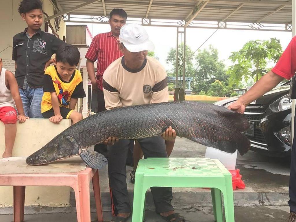 Penampakan Arapaima, Predator yang Meneror Ikan di Sungai Brantas
