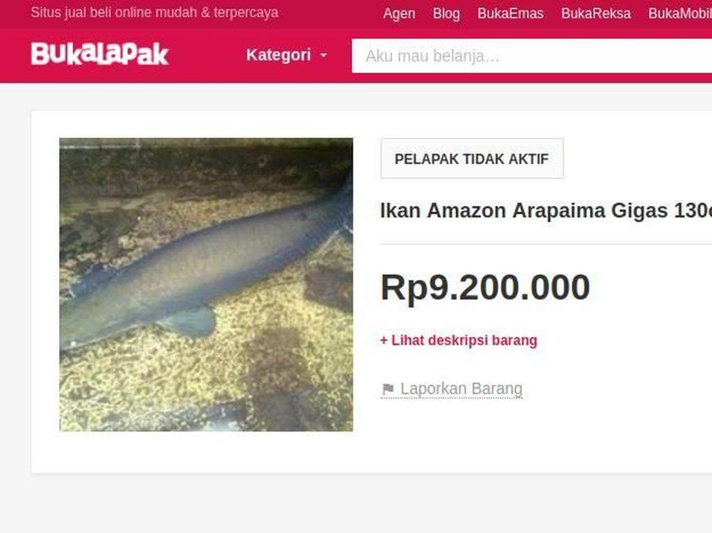 Masuk Daftar Ikan Berbahaya, Arapaima Banyak Dijual di Situs Online