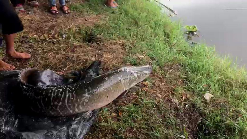 Detik-detik Ikan Arapaima Predator Dilepas ke Sungai Brantas