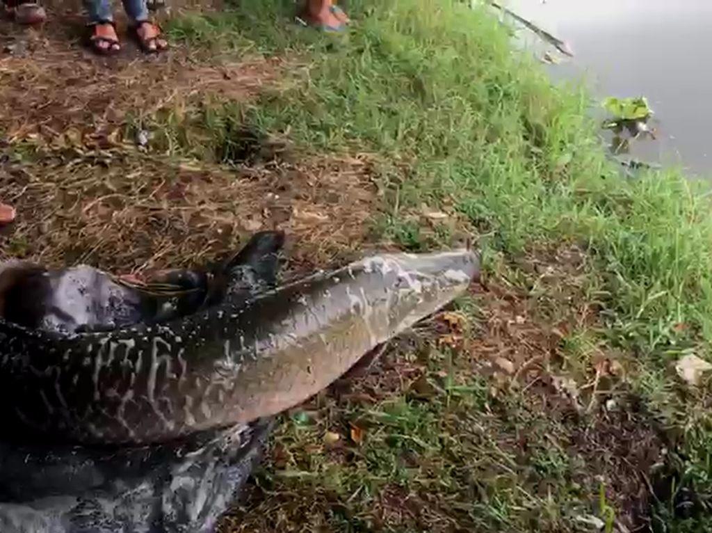 Cerita Warga Lihat 7 Ikan Arapaima Dilepas ke Sungai Brantas
